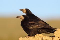 Ekin-Kargasi-Corvus-frugilegus_TMR_6737-min
